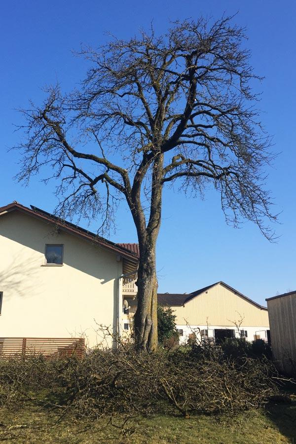 Baumkroneneinkürzung  von Baumpfleger Lentner