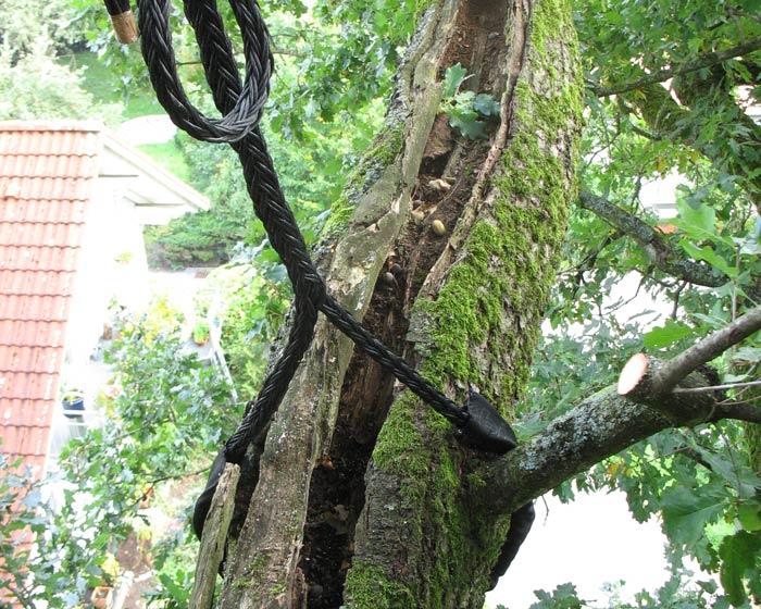 Baumkronensicherung von denkmalgeschützten Baum